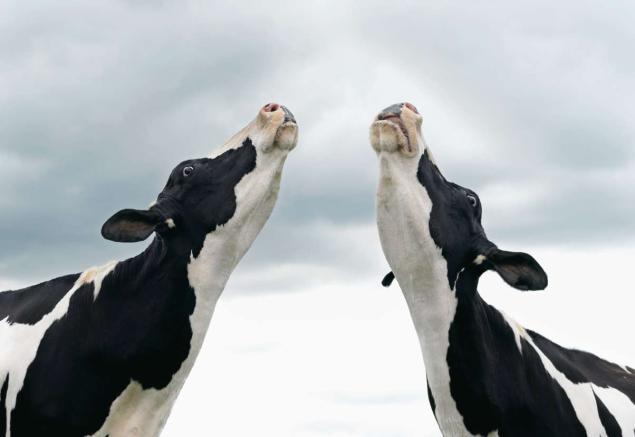 koeienliedjes