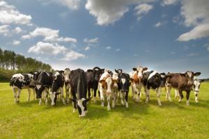 antibiotica veehouderij koeien
