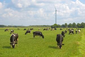 stroom opwekken uit koeienpoep