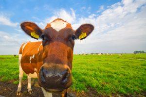 ammoniak koeien