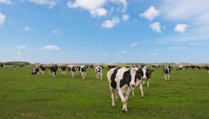 hoeveel magen heeft een koe