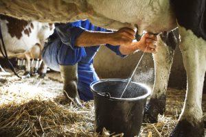 uiergezondheid koeien