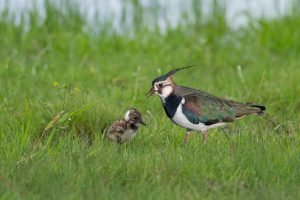 Boerenlandvogels