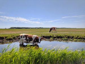 hittestress bij koeien