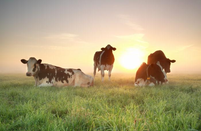 gezonde koeien