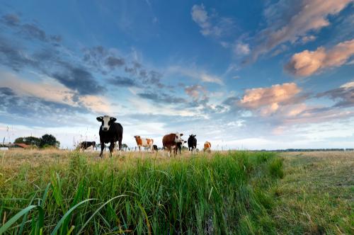 kruidenrijk gras gezond voor koeien