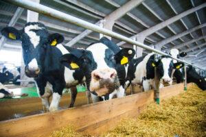 gezonde melk gezonde koeien