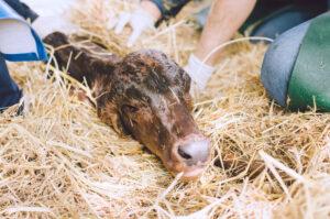 zwangere koe, pasgeboren kalfje