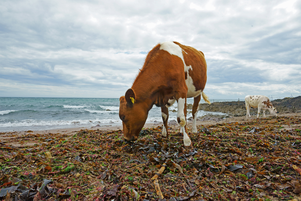 onderzoek zeewier koeienvoer