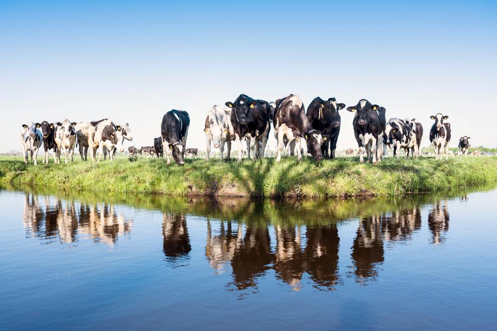veel koeien